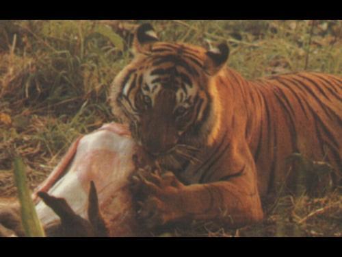 tigre_bengala_divora_mangia_preda